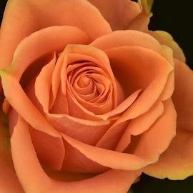 Apricot by Marco Bertamé - Flowers Single Flower ( rose, blooming, petals, bloom, apricot )
