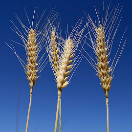 Wheat. by Denton Thaves - Nature Up Close Gardens & Produce ( nature photography )