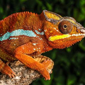 Orange chameleon by Garry Chisholm - Animals Reptiles ( orange, garry chisholm, lizard, nature, wildlife, reptile, chameleon )