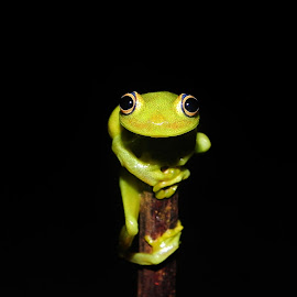 Hey you!! Am watching by Herpeto Fauna - Animals Amphibians ( look, frog, green, amphibian )