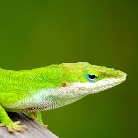 Green Anole by MaryKathryn Zuza - Animals Reptiles ( lizard, teal eye lid, green, green lizard, wildlife, reptile )