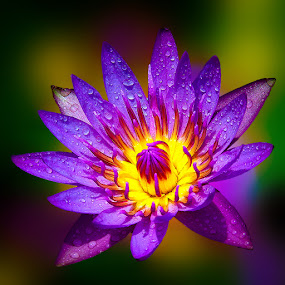 Lotus is Back by TEDDY ZUSMA - Nature Up Close Flowers - 2011-2013