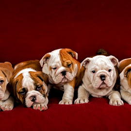 English bulldog puppies by Borislav Stefanov - Animals - Dogs Puppies ( studio, breed, full length, indoors, cute, red background, domestic animal, wrinkles, front view, looking at camera, animal, wrinkled, english bulldog, studio shot, pedigree, lying, vertebrate, pedigreed, one animal, domestic, young, mammal, portrait, canine, young animal, bulldog, dog ears, red, pet, horizontal, animal themes, adorable, purebred, dog )