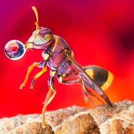 Wasp 150526A by Carrot Lim - Animals Insects & Spiders