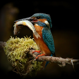 Kingfisher and his catch by Lillian Knutsen Aspås - Animals Birds ( isfugl, alcedo atthis, råkefugler, big catch, kingfisher )