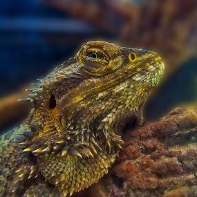 Lizard by Danny Bruza - Animals Reptiles