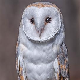 Barn Owl by Amy Ann - Animals Birds