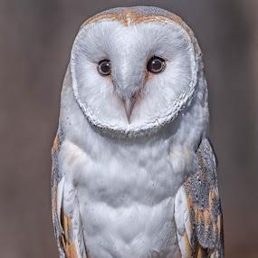 Barn Owl by Amy Ann - Animals Birds (  )