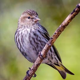 Pine Siskine by Dave Lipchen - Animals Birds ( pine siskine )