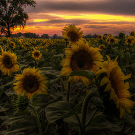 Sunflower by Jasminka  Tomasevic - Landscapes Prairies, Meadows & Fields