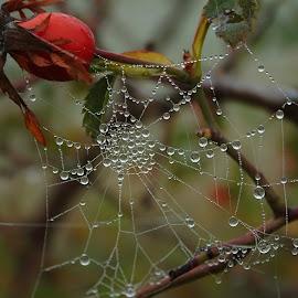 Million drops by Eszes Levente - Nature Up Close Webs ( waterdrop, drop, spiderweb, web )