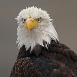 Eye Contact! by Anthony Goldman - Animals Birds ( bird, wild, predator, eagle, nature, profile eye contact, wildlife, homer )