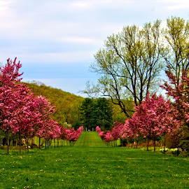 Blooming Trees  by Don Webb - City,  Street & Park  City Parks ( park, tree, grass, bloom )