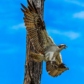 Osprey Aproach by Danny Robbins - Animals Birds