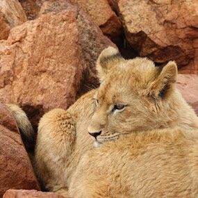Resting. by Lakshmi Vadlamani - Animals Other Mammals