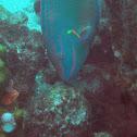 Stoplight Parrotfish (terminal phase)