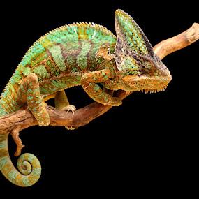 Custard by Gavin Dougan - Animals Reptiles ( macro )