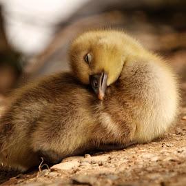 sleepy  by Tracy Morris - Animals Birds (  )