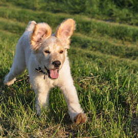 Run Hiro Run by Dubravka Krickic - Animals - Dogs Puppies ( happy, funny, ears, puppy, cute, dog, running )