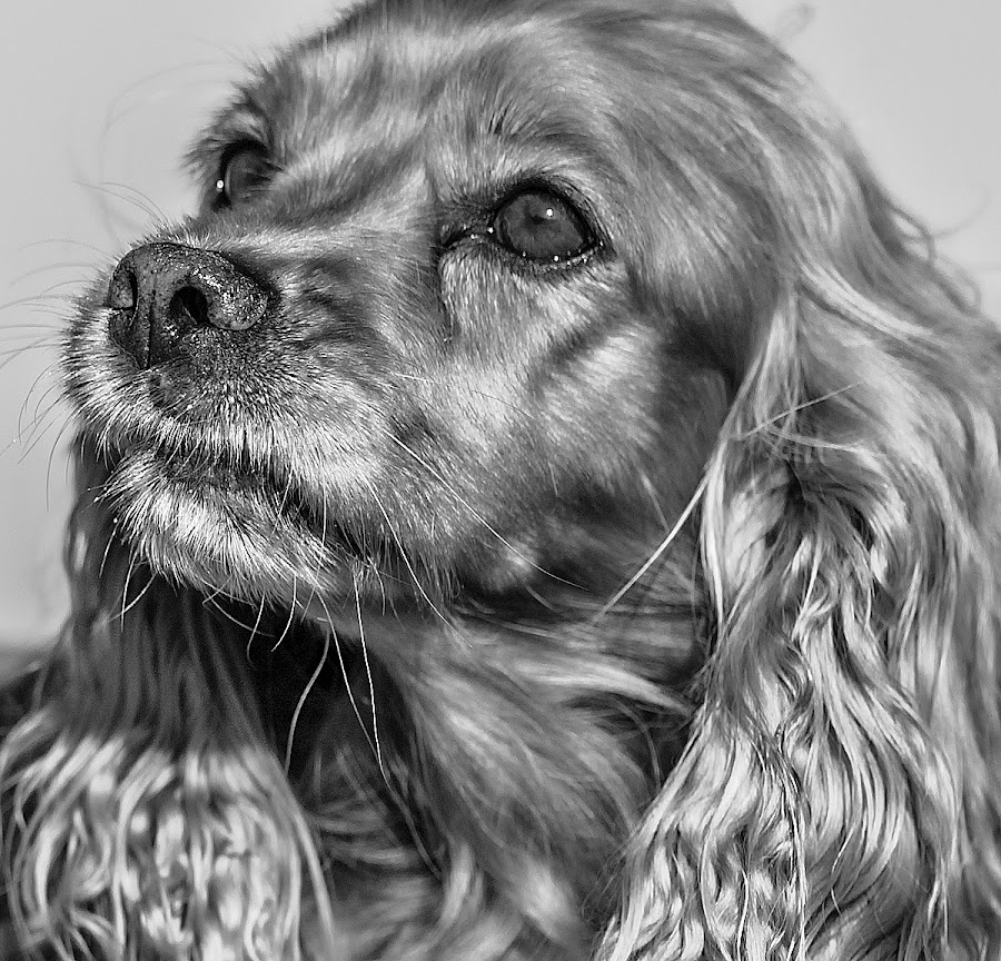 by Harold Blum - Animals - Dogs Portraits