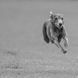 Happy dog 2016 by Ole Walter Sundlo - Animals - Dogs Running ( wippet, running dog, dogs, hunder, hund, happy dog, dog, mynde )