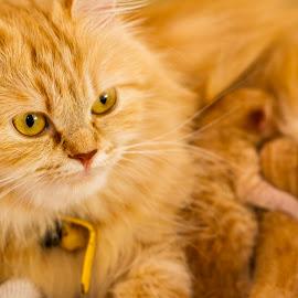 Motherhood by Nezar Mahgob - Animals - Cats Kittens ( cat, three, yellow, kittens, newborn )