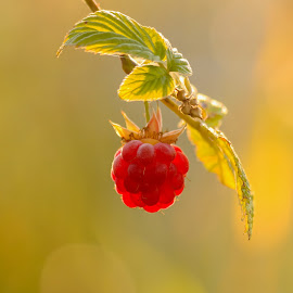 Single berry by Laurentiu Lupascu - Nature Up Close Gardens & Produce ( berry, fruit, red, single, nature, sunlight, sun )