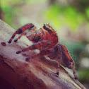 Cardinal Jumping Spider