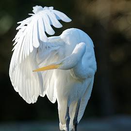 Preening Beauty by Raphael RaCcoon - Animals Birds ( bird, egret )
