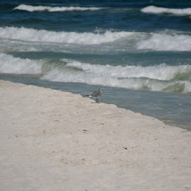 Great Waves by Kayla House - Landscapes Beaches ( water, sand, calming, waves, ocean, beach, sandy, relaxing, sun, bird, sandy beaches, beaches, great, vacation, florida, sunny, summer )
