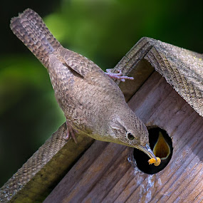 What;s for dinner ma??? Meal worms! This House Wren Says!!! by Paul Brown Jr. - Animals Birds (  )
