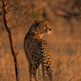 Cheetah at Dawn by Marc de Chalain - Animals Lions, Tigers & Big Cats ( cheetah, dawn, frica, africa )