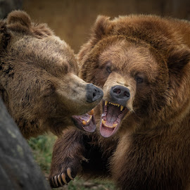 The She Bear by James Harrison - Animals Other Mammals