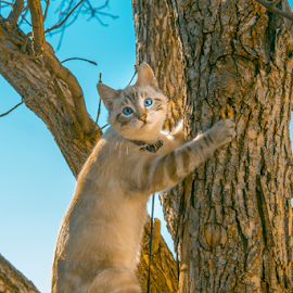 Going To The Top by Julie Wooden - Animals - Cats Kittens ( cat, kitten, north dakota, hebron, sam, sky, blue sky, tree, nature, autumn, sunny, outdoors, scenery, feline, animal, skyscape,  )