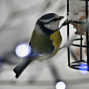 Winter Feast by Andrea Clayton - Animals Birds ( animals, birds, garden )