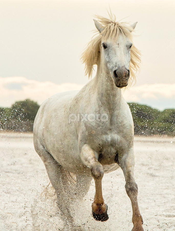Camargue mares 4 by Helen Matten - Animals Horses ( water, galloping, mare, wild, screen, horses, camargue, white, france, beach, towards )