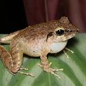Giant Webbed Frog