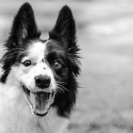 Happy Girl by Cathy Abbott - Animals - Dogs Portraits ( smiling dog, black and white dog portrait, border collie, gorgeous border collie, beautiful dog, happy dog )