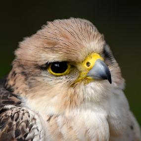 falcon by Dasa Augustinova - Uncategorized All Uncategorized (  )