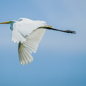 Flying by Cristobal Garciaferro Rubio - Animals Birds ( flying, white egre, sky, wings, egret, great egret )