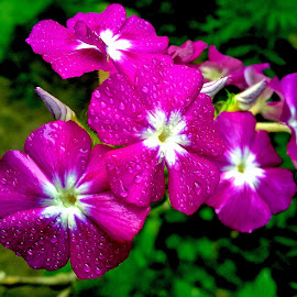 Phlox by Asif Bora - Instagram & Mobile Other