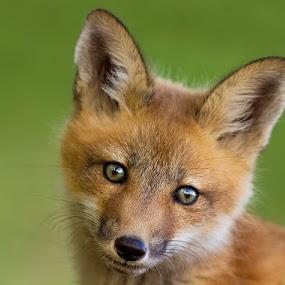 Fox pup by Mircea Costina - Animals Other Mammals