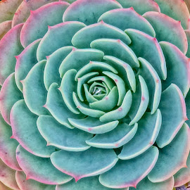 Prickly Pastel by Barbara Brock - Nature Up Close Other plants ( pastel plants, aloe, cacti, succulents, pink and green, cactus )