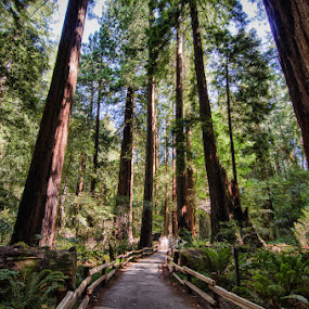 Nymphs in the Woods by Dee Zunker - Landscapes Forests ( path, trees, muir woods )