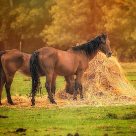 Grazing Time by Sandra Hilton Wagner - Animals Horses ( farm, field, animals, grazing, horses, hay, horse, trees, golden hour )
