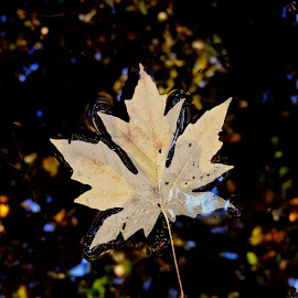Autumn II by Campbell McCubbin - Nature Up Close Leaves & Grasses ( tree, autumn, fall, leaf, leaves, pond )