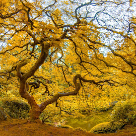Golden Maple by Richard Duerksen - Nature Up Close Trees & Bushes ( tree, yellow, gold leaves, gold, maple )