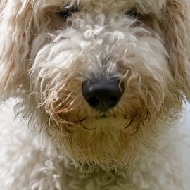 So you want a close-up? by Lizzy MacGregor Crongeyer - Animals - Dogs Puppies ( canine, shaggy, scraggy, golden doodle, best friend, puppy, fun, dog, close-up )