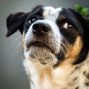 Sad Dog by Pandu Sinatriyo - Novices Only Pets ( pet, dog, close up, friend, animal )