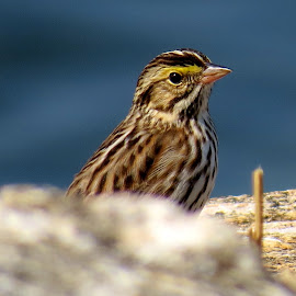 Savannah Sparrow by Erika  Kiley - Novices Only Wildlife ( bird, ocean, spring, sparrow )